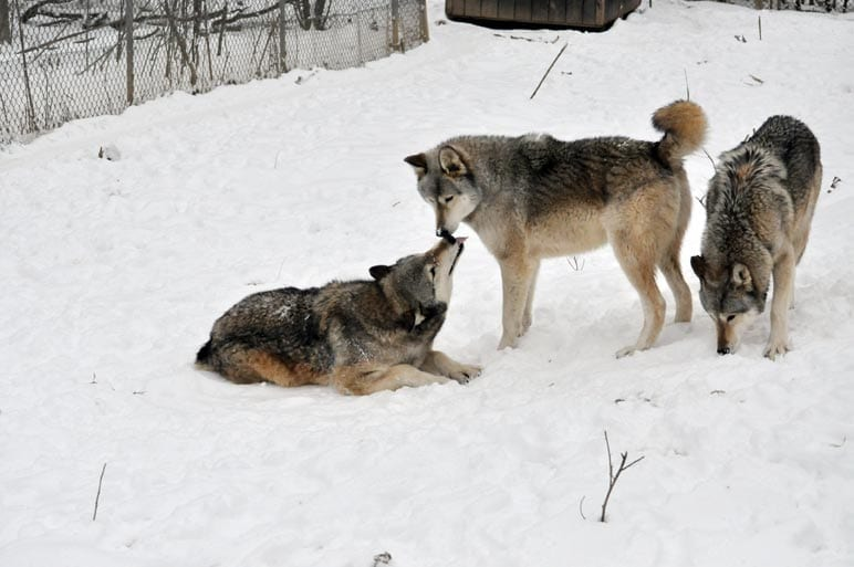 , Wolf Communication Part 2: Body Language