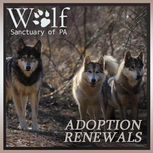 Renew your wolf adoption- a unique way to help