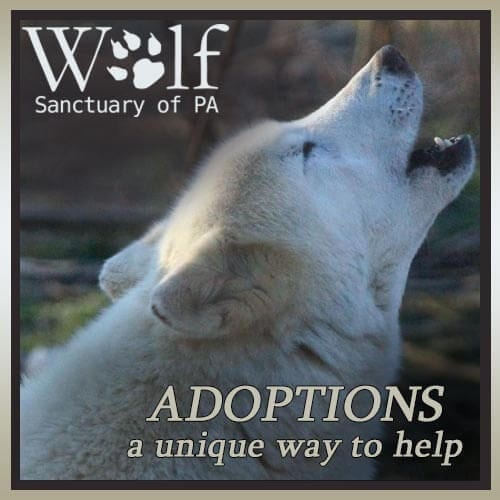 Adopt a wolf pup - a unique way to help