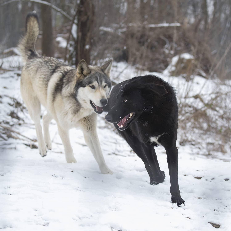 adopt, Adopt a Wolf