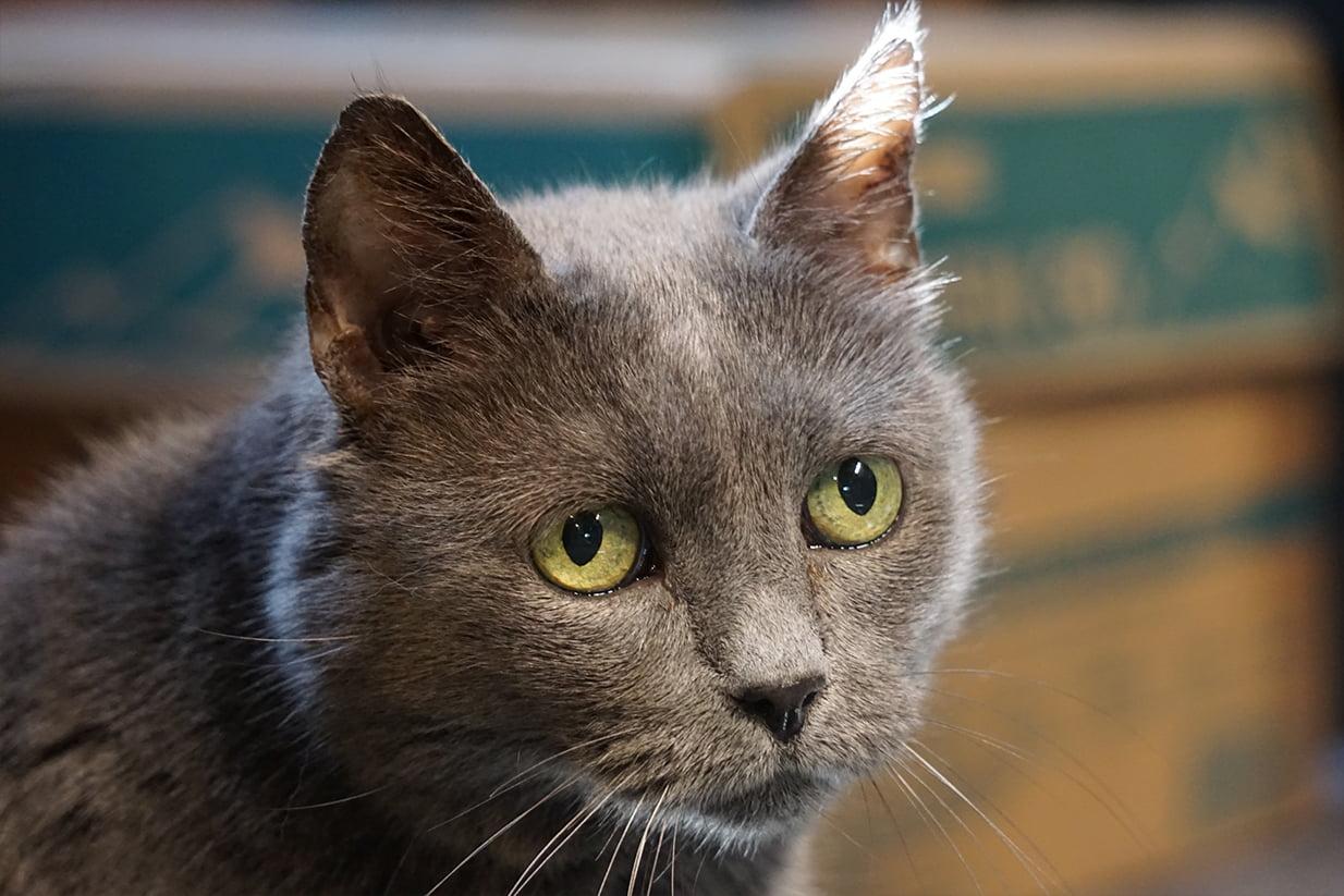 adopt, Adopt a Cat – Support a Wolf